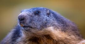 La Marmotte du Lauvitel